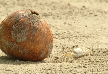Lit4en krabba