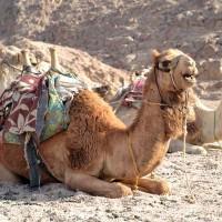 Kamelridning