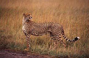 Gepardhona