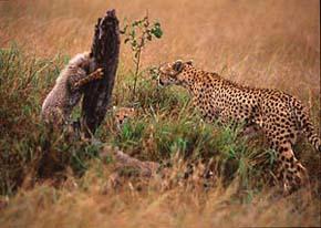 Gepardfamilj